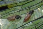 Gnitzen auf Libellenflügeln